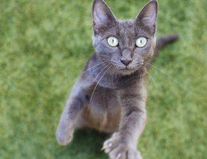 Conocé todo Agresión del gato: hiperestesia