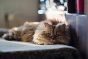 Conocé todo Enfermedad renal poliquística en gatos