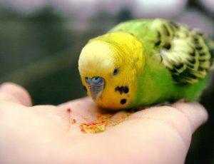 Conocé todo Antes de elegir un pájaro mascota