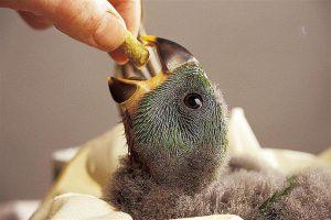 Conocé todo Elegir un pájaro de bebé sano
