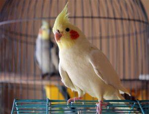 Conocé todo Cómo introducir un nuevo pájaro a tu loro