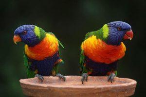 Conocé todo Lorikeets de arco iris como mascotas