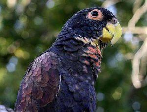 Conocé todo El Pionus de alas de bronce como mascota