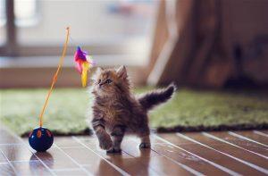 Conocé todo Desarrollo de gatitos de 6 a 12 semanas.