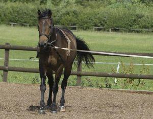 Conocé todo Entrenamiento de caballos: lo que puede hacer con un caballo de dos o tres años