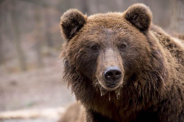 Cuánto viven los osos pardos