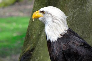 Cuánto viven las águilas