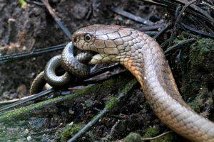 Cuánto viven las cobras reales
